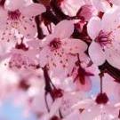 CherryBlossom90