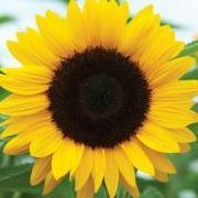 Sunflower1979