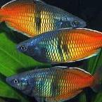 Regnbuefisk