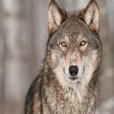 Lone Star Wolf